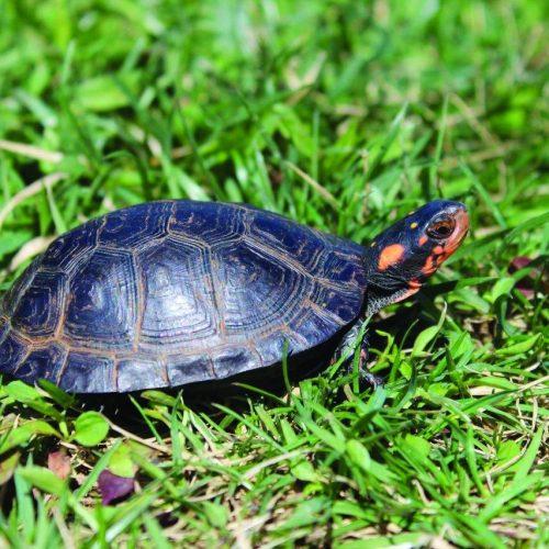 Bog_Turtle_Rodney_Martinez